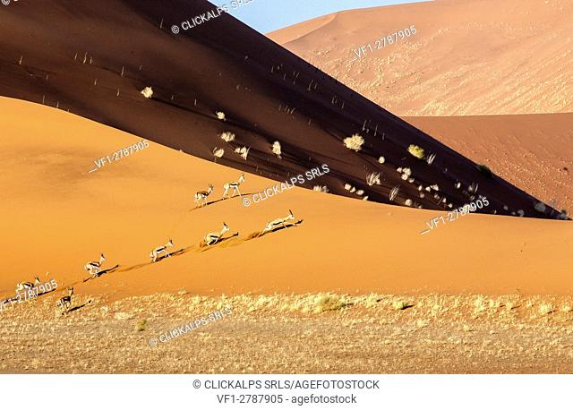 Gazelles run between the sand dunes Deadvlei Sossusvlei Namib Desert Naukluft National Park in Namibia Africa