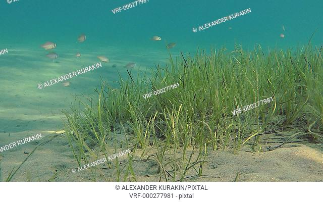 Thickets of Grasswrack (Zostera marina) on a sandy bottom in the sun