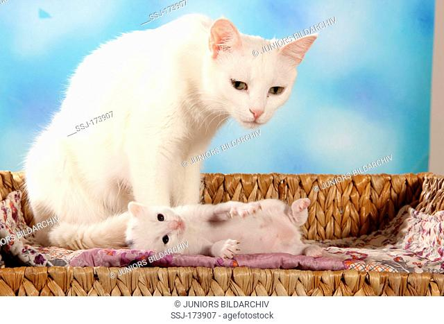 Domestic Cat. Mother and white kitten (19 days old) sitting on a bench