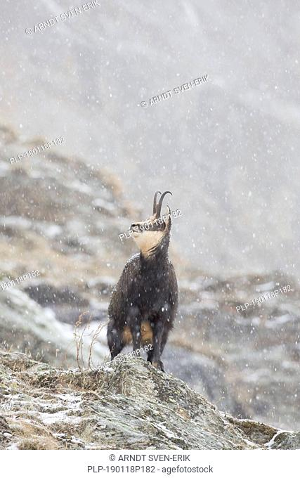 Chamois (Rupicapra rupicapra) female looking up during snowfall in the mist in winter in the European Alps