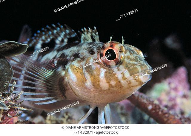 Banded Triplefin (Forsterygion malcolmi). Poor Knights Islands. New Zealand