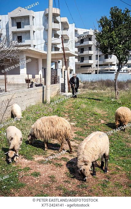 Sheep grazing by the roadside in Ksamil in Southern Albania