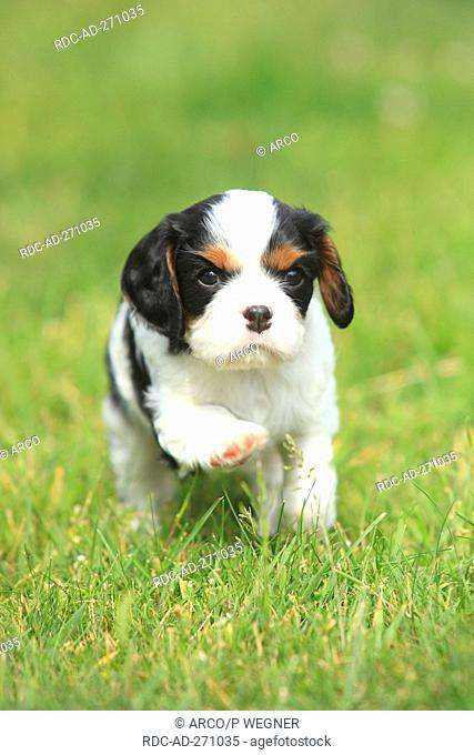 Cavalier King Charles Spaniel, puppy, tricolour, 5 weeks