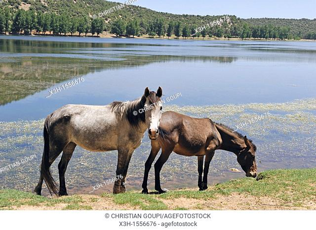 horses by the Dayet Aoua lake, around Ifrane, Middle Atlas, Morocco, North Africa