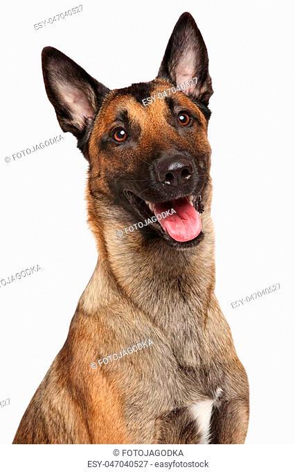 Happy Belgian Shepherd dog isolated on a white background