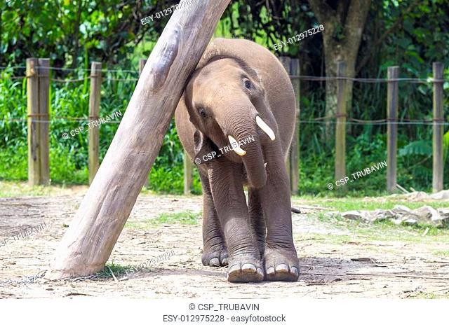 Indian Elephant child, Malaisia