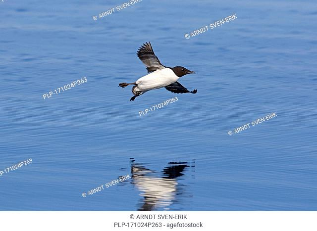 Thick-billed murre / Brünnich's guillemot (Uria lomvia) landing at sea with spread wings, native to the sub-polar regions of the Northern Hemisphere