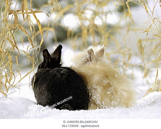 dwarf rabbit and angora rabbit in snow - from behind