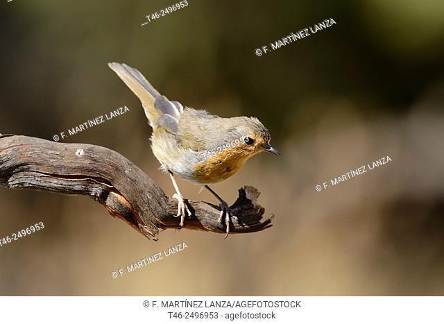 European Robin Erithacus rubecula. Fotograviado in Fresnedilla de la Oliva. Madrid