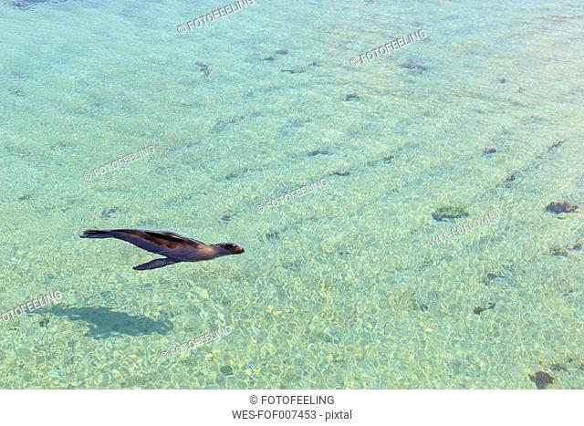 Ecuador, Galapagos Islands, Isabela, Punta Moreno, swimming sea lion
