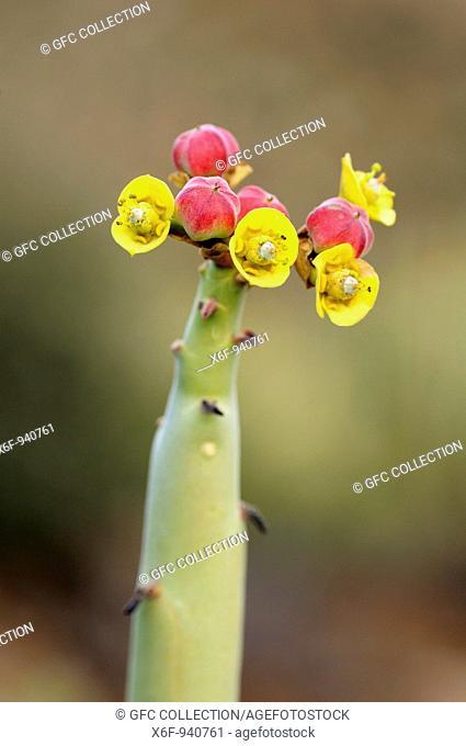 Fructification of Euphorbia dregeana, Dikboudmelkbos, Richtersveld, South Africa