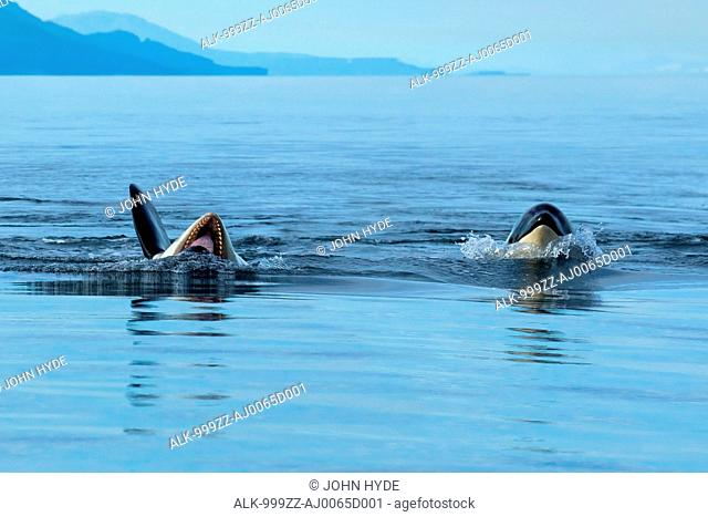 An orca rolls onto its back and opens it mouth as it plays at the surface with another family member in Chatham Strait, Inside Passage, Southeast Alaska, Summer