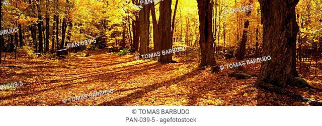Tree lined road in Autumn, Massachusetts, USA