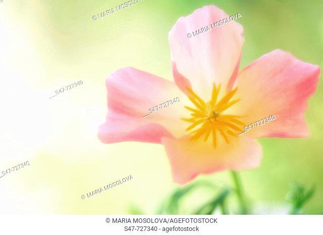 Pink California Poppy Close-up. Eschscholzia californica