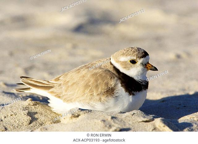 Piping Plover endangered adult Charadrius melodus, Grand Beach Provincial Park, Manitoba, Canada
