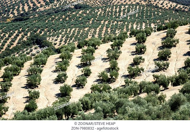 Olive trees in rows reaching to the far distance on hills and mountain sides in Andalucia in Southern Spain