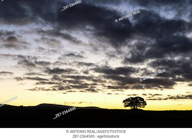 Hol oak and clouds at dawn. Almansa. Albacete province, Spain