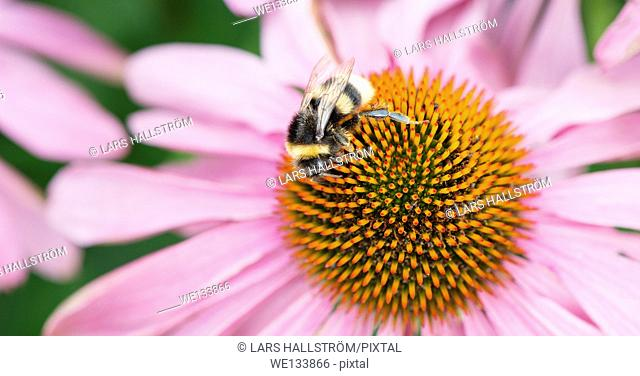 Macro shot of bee pollinating flower