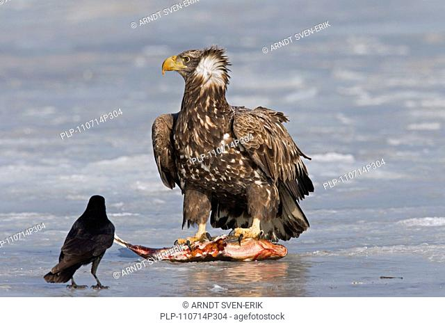 White-tailed Eagle / Sea Eagle / Erne Haliaeetus albicilla eating fish and Carrion Crow Corvus corone on frozen lake in winter, Germany