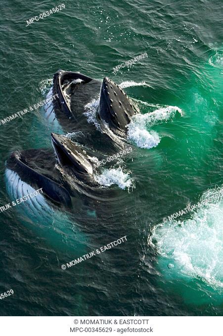 Humpback Whale (Megaptera novaeangliae) pair bubble net feeding, Grandidier Passage, western Antarctica