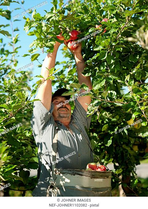 Farmer picking apples from tree