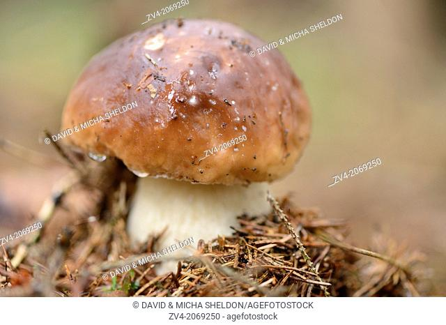 Close up of a penny bun (Boletus edulis) mushroom on the forest floor in autumn