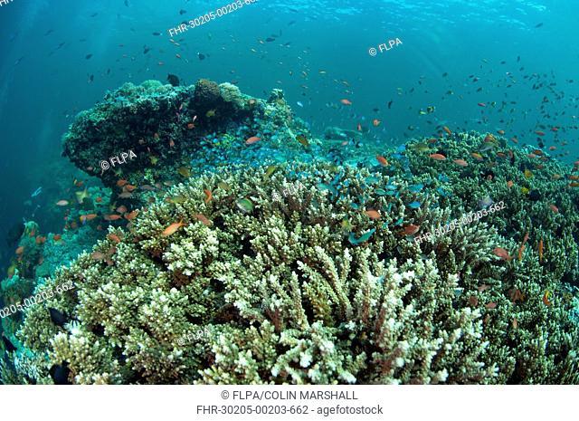 Staghorn Coral Acropora sp with small fish, in coral reef habitat, Sipadan Island, Sabah, Borneo, Malaysia