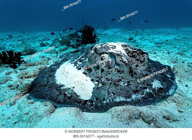 Round Ribbontail Ray (Taeniura meyeni) resting on the sandy ocean floor, Great Barrier Reef, UNESCO World Natural Heritage Site, Pacific Ocean, Queensland