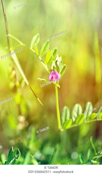 Beautiful wild flower murine peas photographed close up