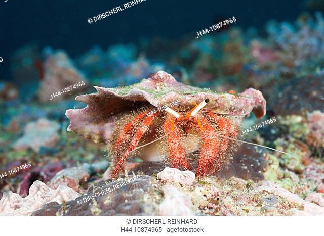 Rote Einsiedlerkrabbe, Diogenidae, Nord Ari Atoll, Malediven, Red Hermit Crab, Diogenidae, North Ari Atoll, Maldives