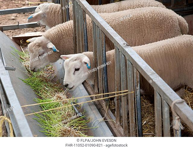 Domestic Sheep, lambs, feeding on Barley Hordeum vulgare hydroponic growing system crop of sprouted seedlings at five days, Herefordshire, England, june