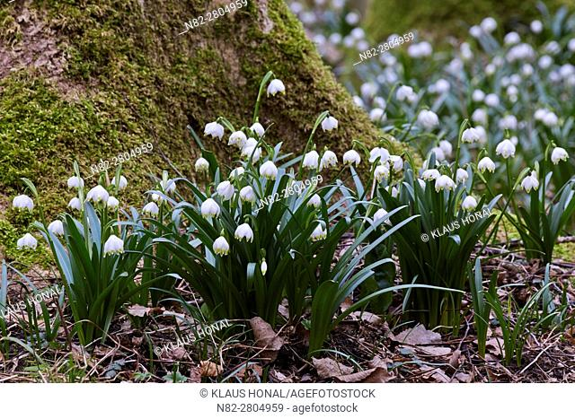 Spring snowflakes (Leucojum vernum) blooming in deciduous forest on damp and wet, nutrient-rich and moderately acid loamy and clay soils - Bavaria/Germany