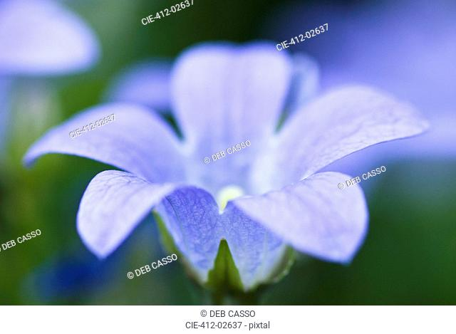 Close up of bellflower
