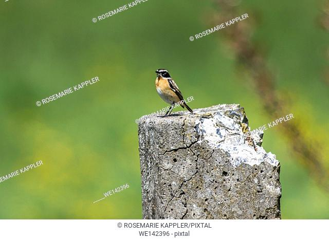 Germany, Saarland, Bruchhof - A whinchat is sitting on a post