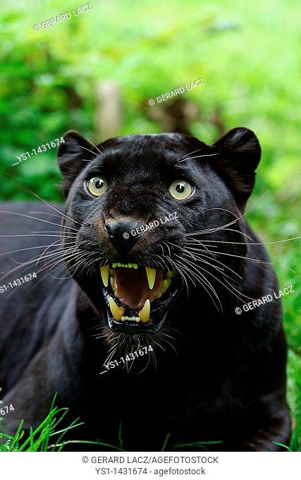 BLACK PANTHER panthera pardus, ADULT SNARLING, DEFENSIVE POSTURE