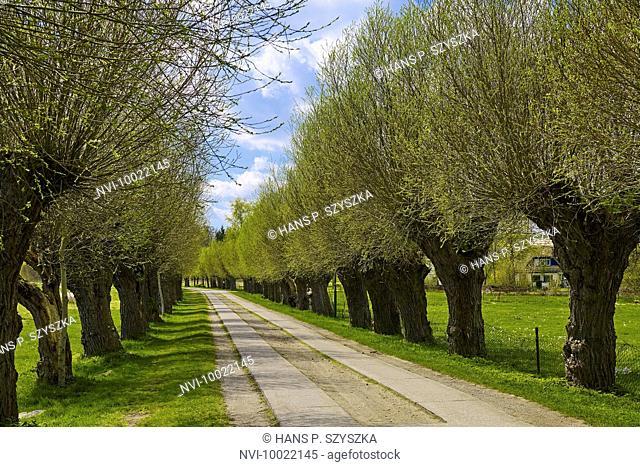 Willow Avenue near Putbus on Rügen island, Mecklenburg Western Pomerania, Germany