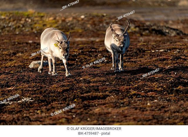 Svalbard reindeers (Rangifer tarandus platyrhynchus), Spitsbergen Archipelago, Svalbard and Jan Mayen, Norway