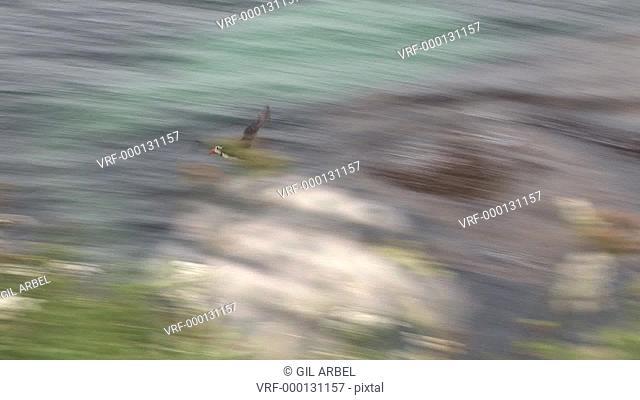 Puffins Fratercula arctica fly in from sea. Treshnish Isle, Mull. Scotland