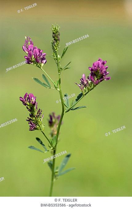Lucerne (Medicago sativa), blooming