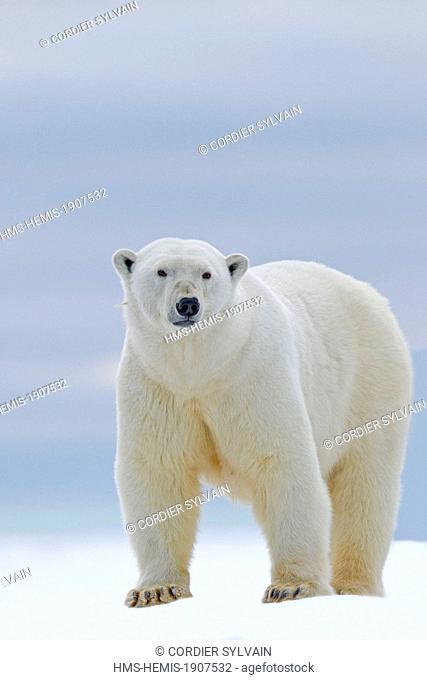 United States, Alaska, Arctic National Wildlife Refuge, Kaktovik, Polar Bear (Ursus maritimus), subadult