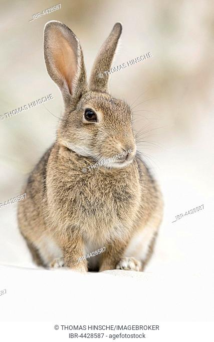 European or common rabbit (Oryctolagus cuniculus), buck on Baltic Sea dunes, Mecklenburg-Western Pomerania, Germany