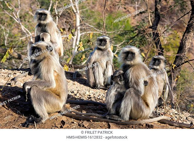 India, Rajasthan state, Ranakpur, Langur monkeys at the Adinath Jain temple