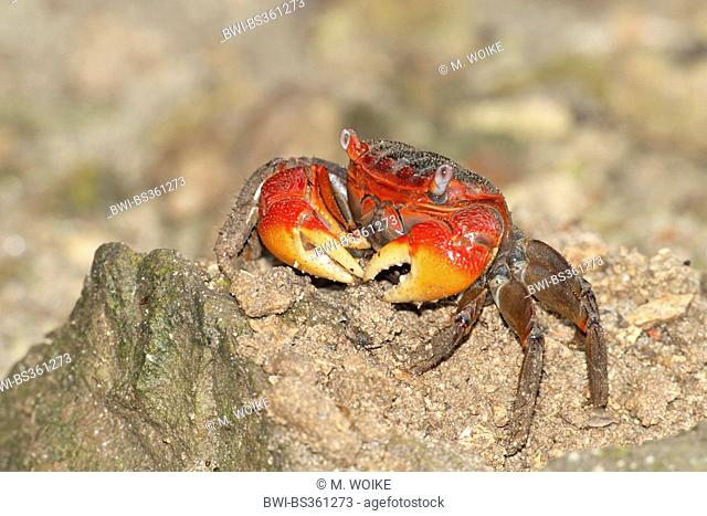 Red Claw Crab, Land crab (Cardisoma carnifex), on the beach, Seychelles, Mahe