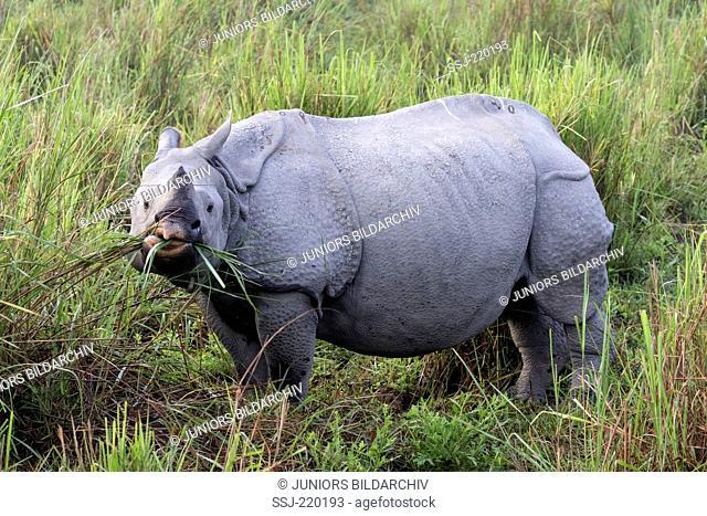 Indian Rhinoceros (Rhinoceros unicornis). Adult eating grass. Kaziranga National Park, India
