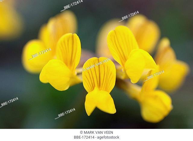 Yellow flowers of Horseshoe Vetch