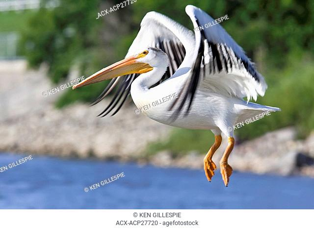 American White Pelican preparing to land on the Red River. St. Andrews Lock and Dam National Historic Site. Lockport, Manitoba, Canada
