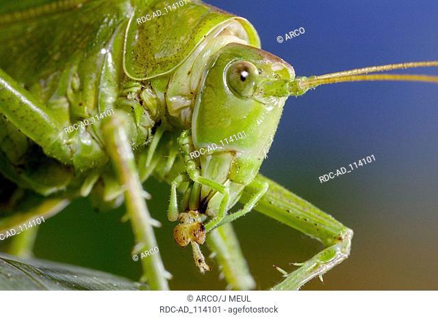 Speckled Bush-cricket Leptophyes punctatissima