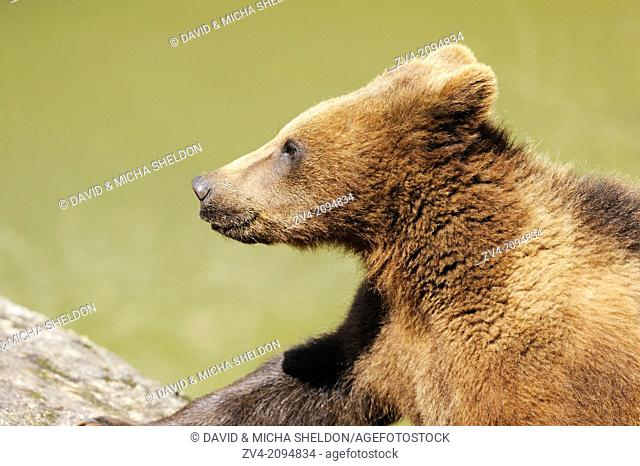 Portrait of a brown bear (Ursus arctos) in the Bavarian Forest, Germany