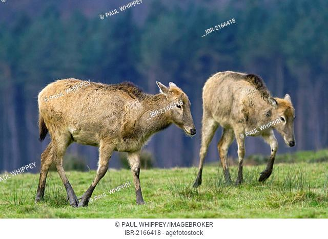 Pere Davids deer (Elaphurus davidianus), females, in grass, south Wales, United Kingdom, Europe