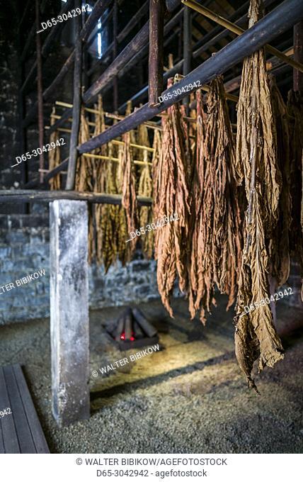 Portugal, Azores, Sao Miguel Island, Maia, bale of Azorean tobacco